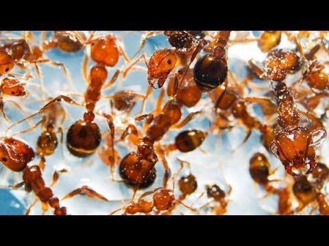Les fourmis, c'est solide ou liquide ?