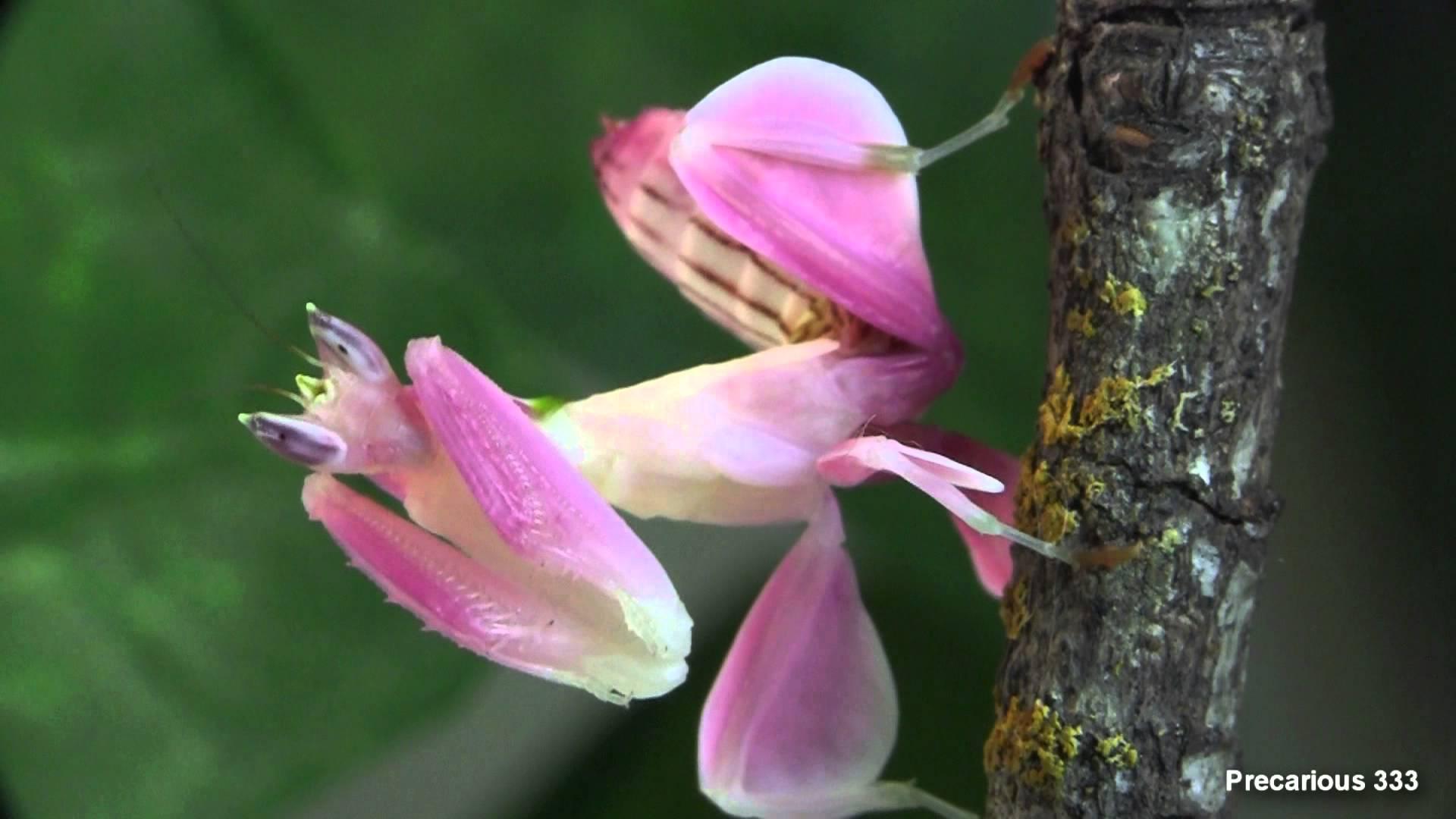 Mante religieuse ou orchidée ?