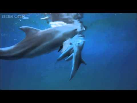 Des dauphins qui se droguent au poisson-globe