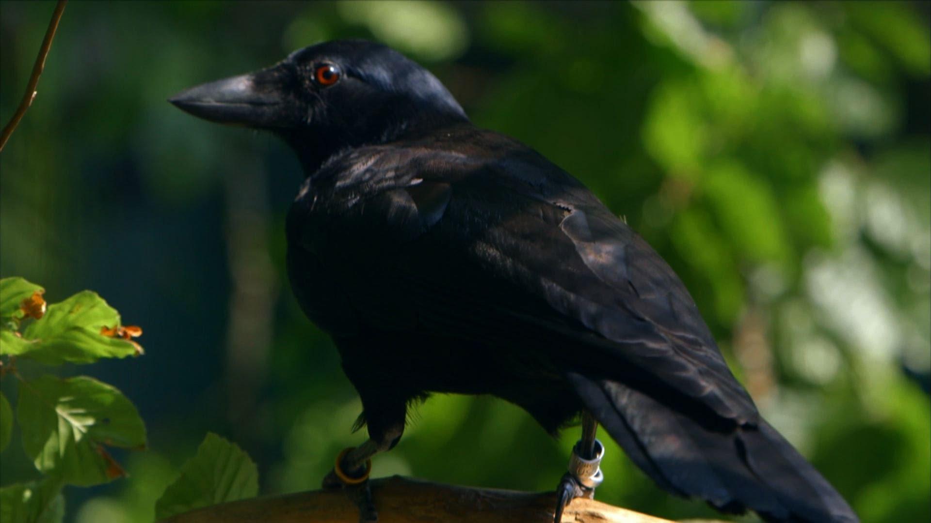 Un corbeau c'est intelligent