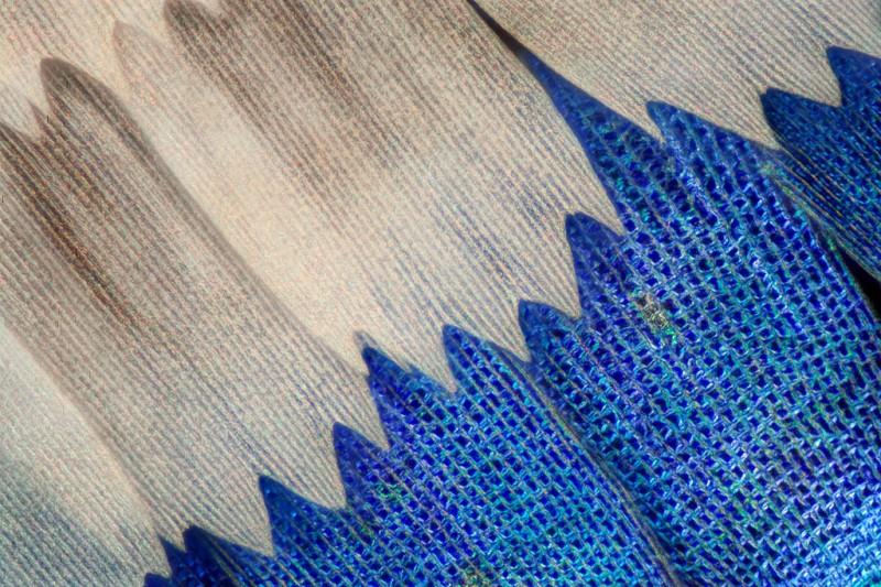 aile papillon 03 800x533 Des ailes de papillons vues de très près