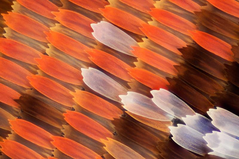 aile papillon 06 800x533 Des ailes de papillons vues de très près