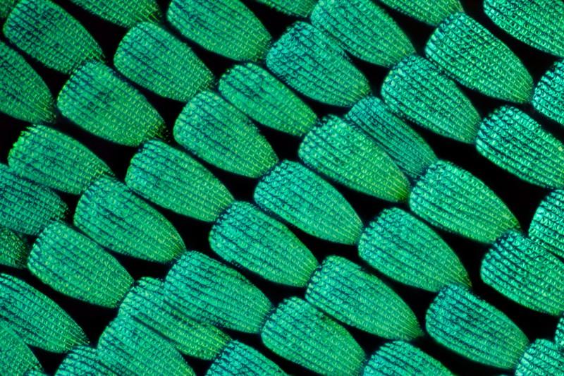 aile papillon 11 800x533 Des ailes de papillons vues de très près