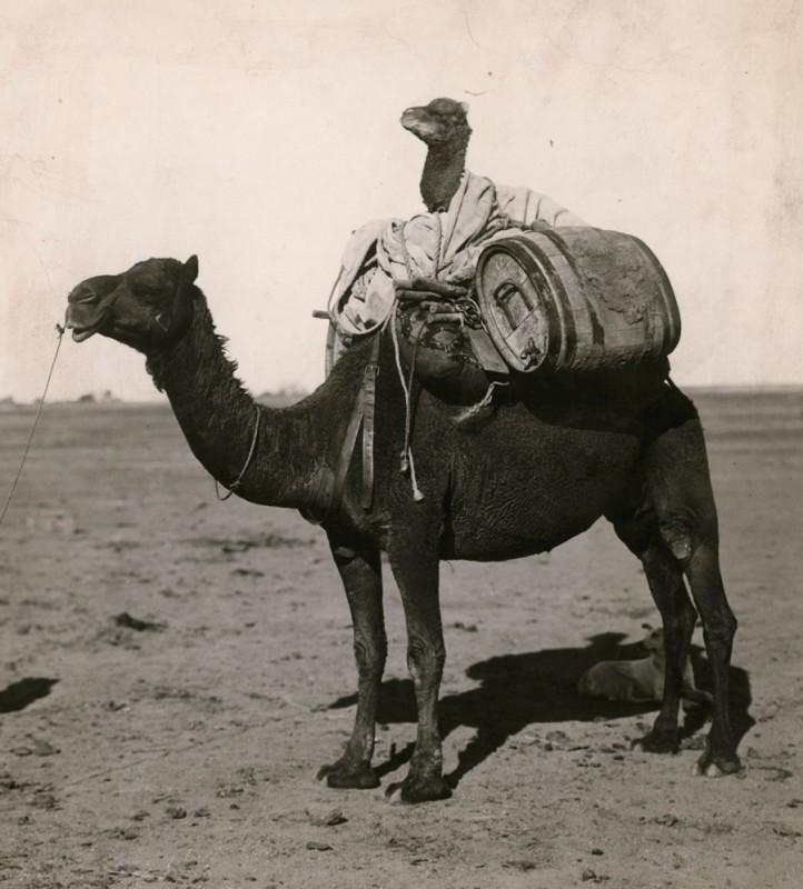 chameau-transporte-chameau