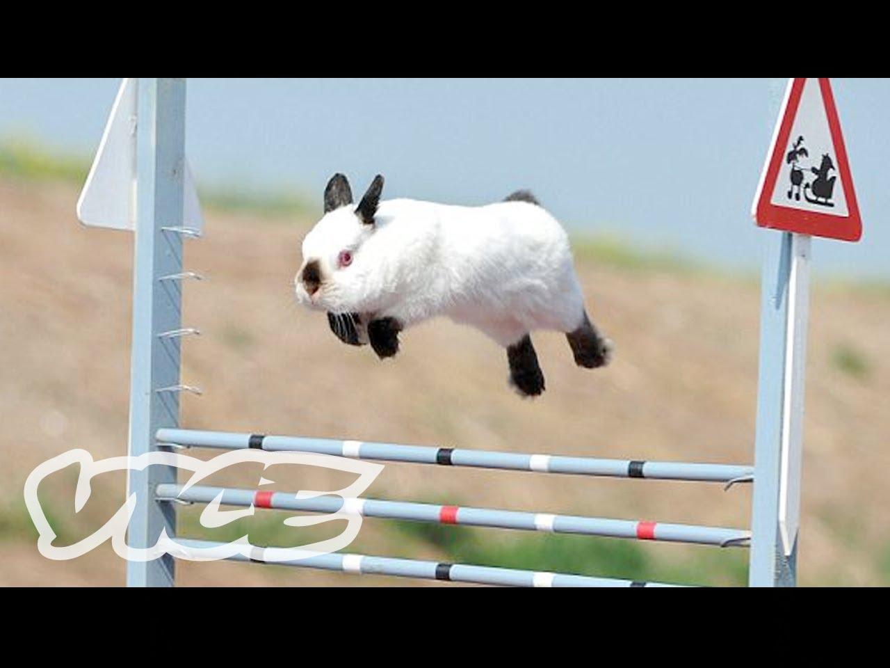 Compétition de sauts de lapins