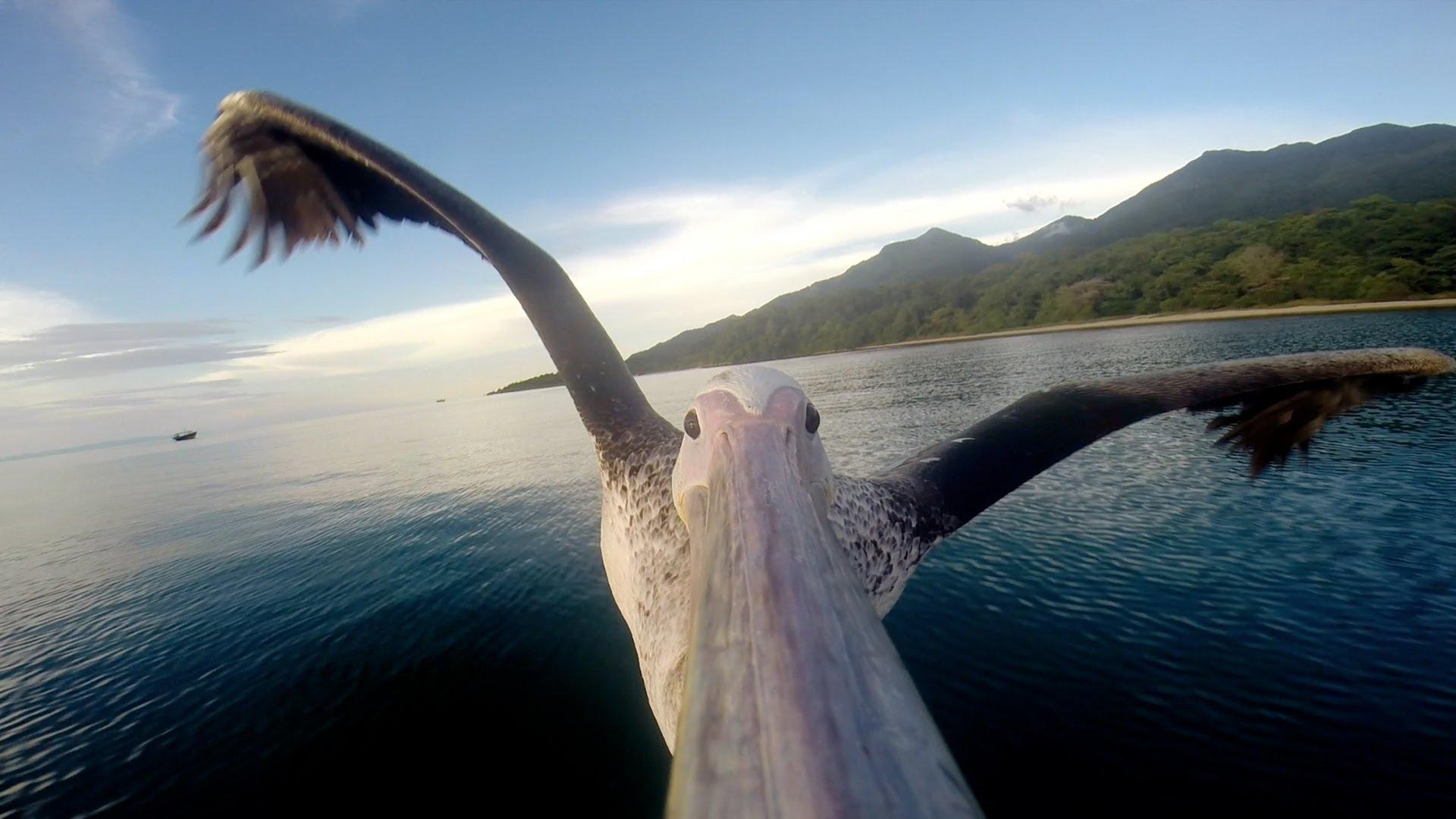 Une GoPro sur le nez d'un pélican