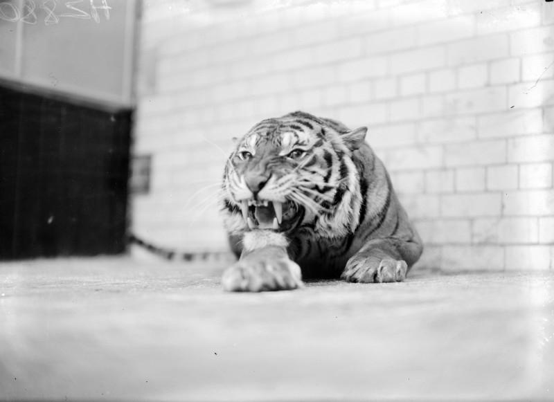 irlande-tigre dublin 1936
