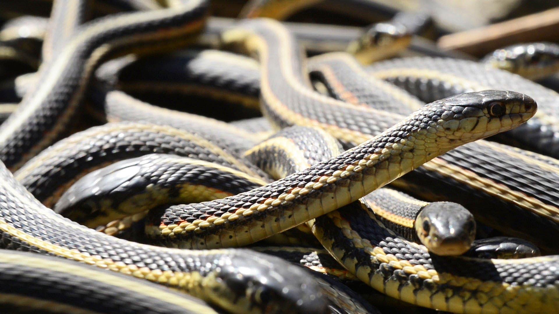 Des serpents dans la nature