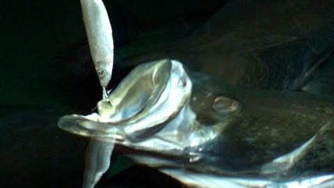 Comment les poissons mangent