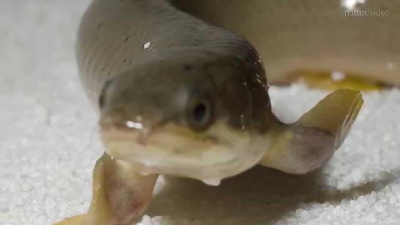 Le poisson qui marche