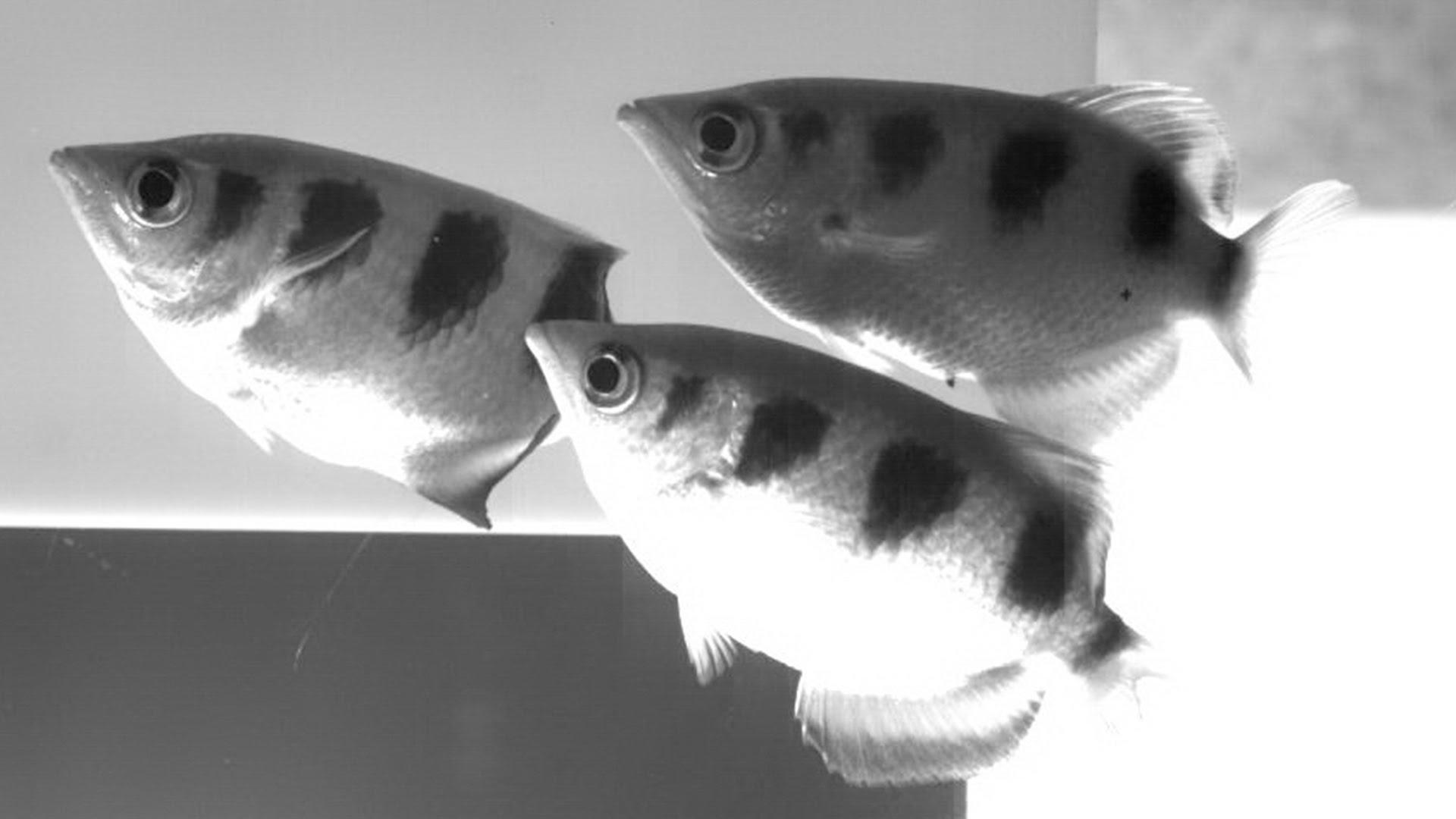 Le poisson sniper