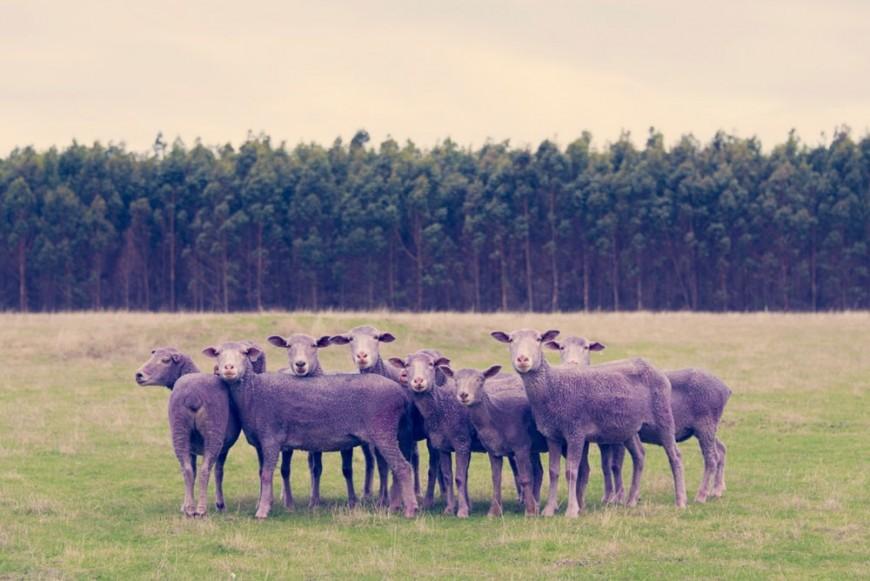 mouton-peinture-couleur-02