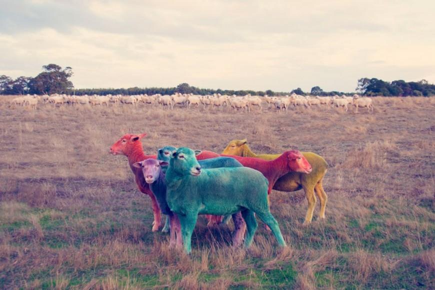 mouton-peinture-couleur-04