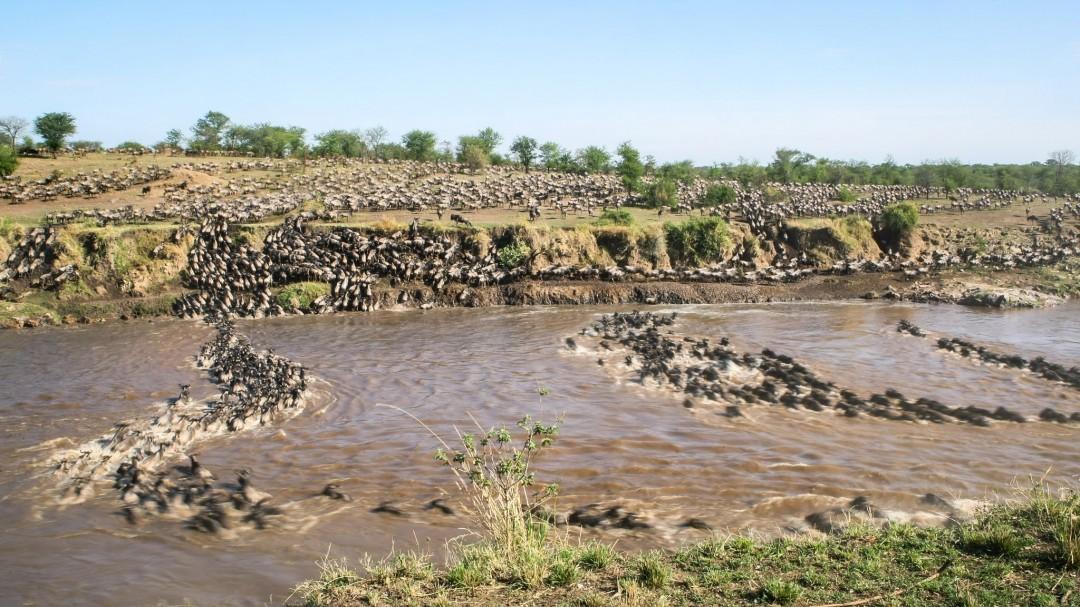 Pourquoi 1,5 million gnous traversent la rivière ?