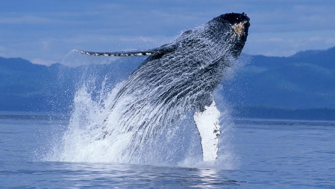 C'est joli les baleines