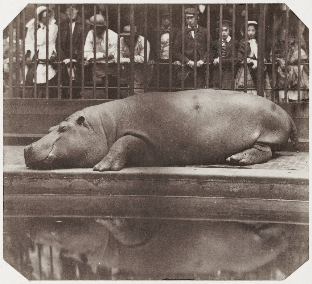 hippo-zoo-londres