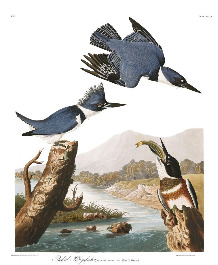 audubon-oiseau-amerique-02
