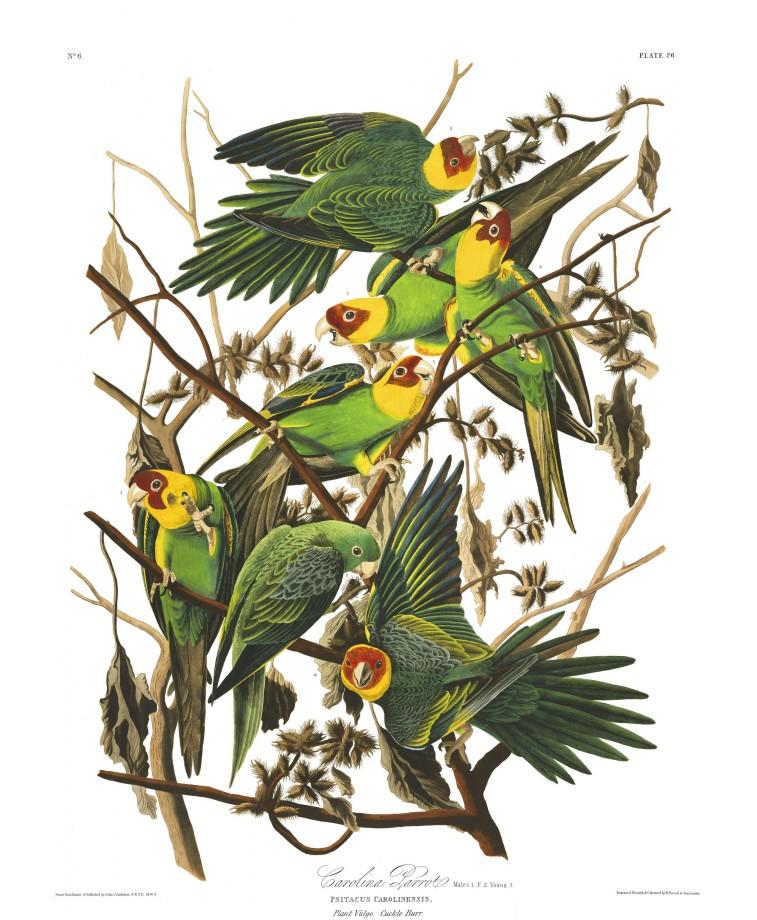 audubon-oiseau-amerique-03