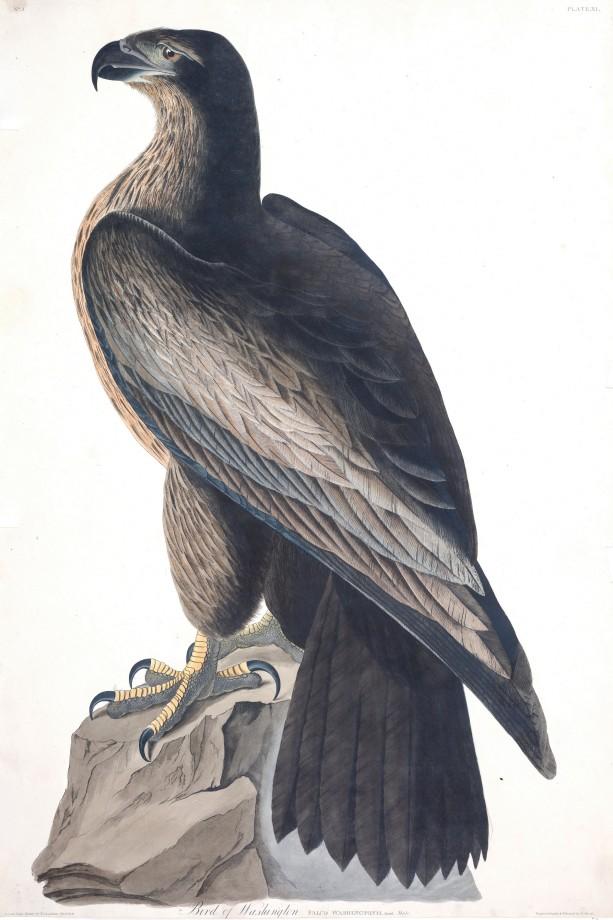 audubon-oiseau-amerique-04