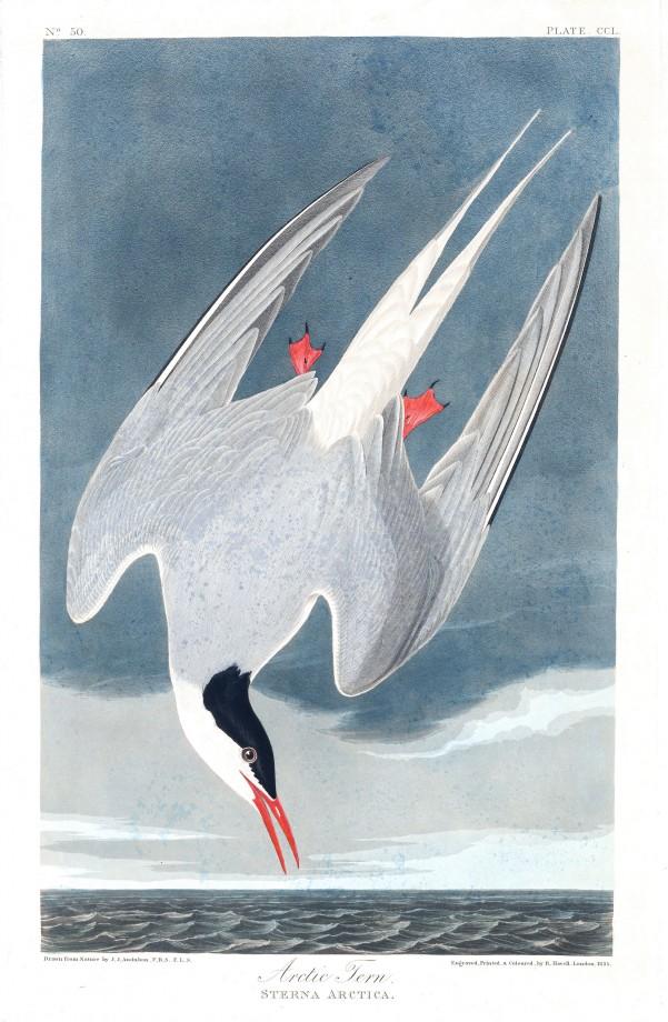 audubon-oiseau-amerique-05