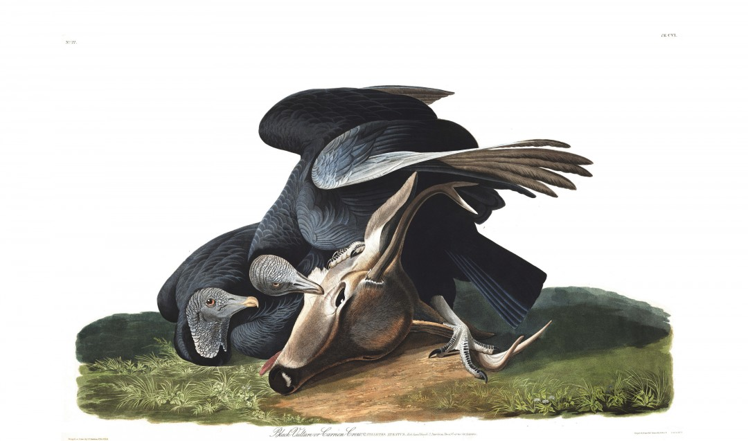 audubon-oiseau-amerique-06