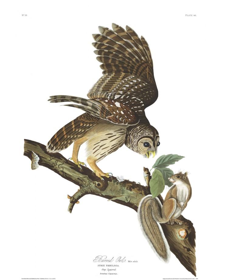 audubon-oiseau-amerique-07