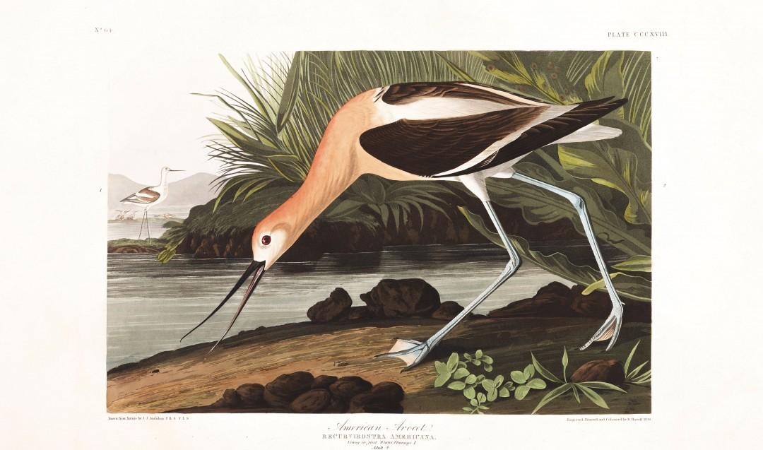 audubon-oiseau-amerique-08