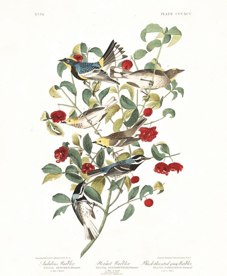 audubon-oiseau-amerique-09