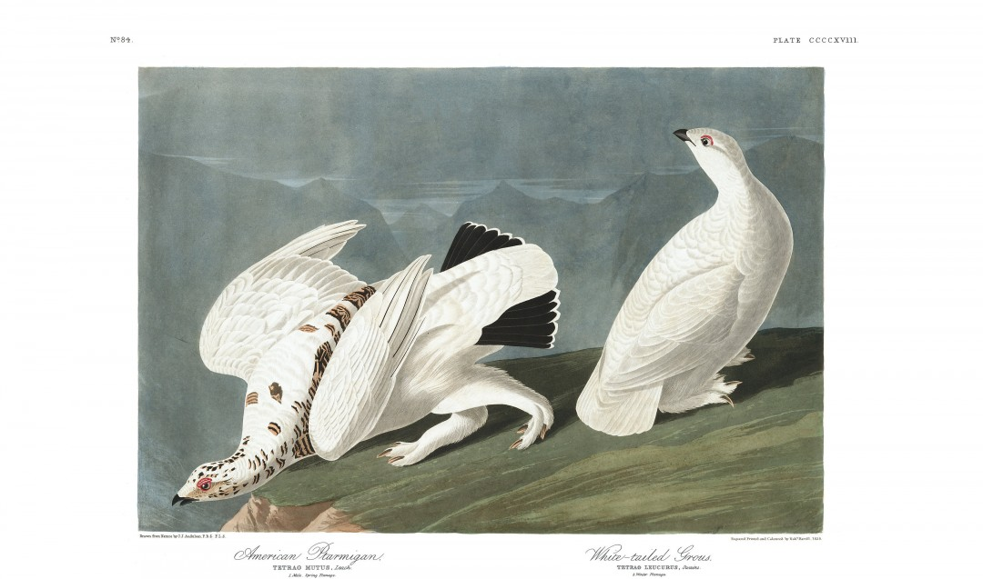 audubon-oiseau-amerique-10