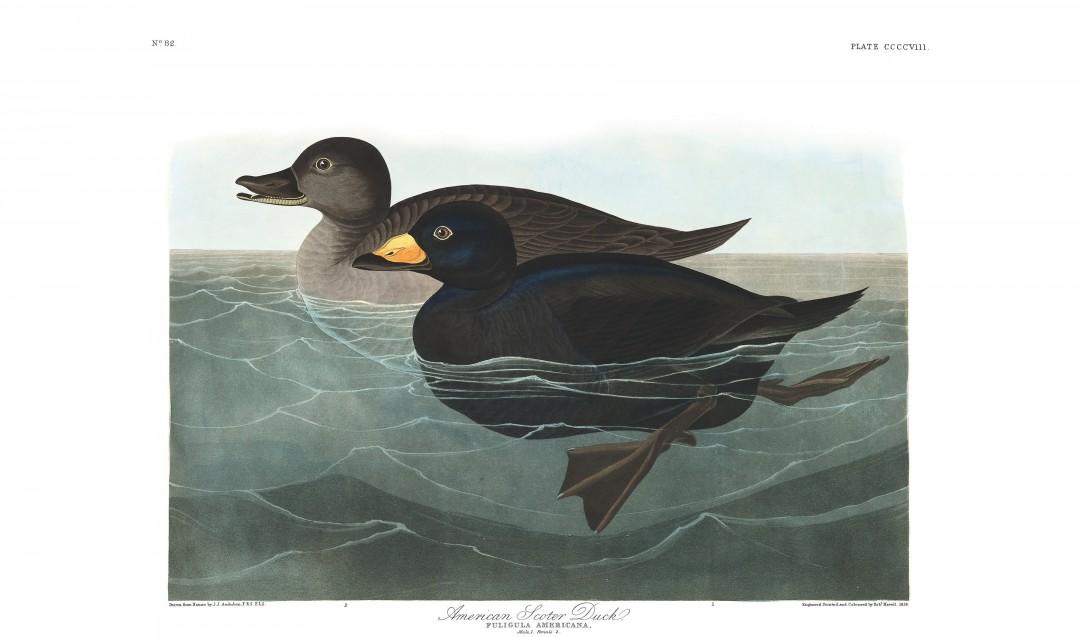 audubon-oiseau-amerique-11