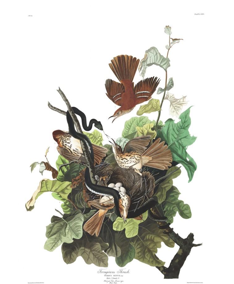 audubon-oiseau-amerique-12