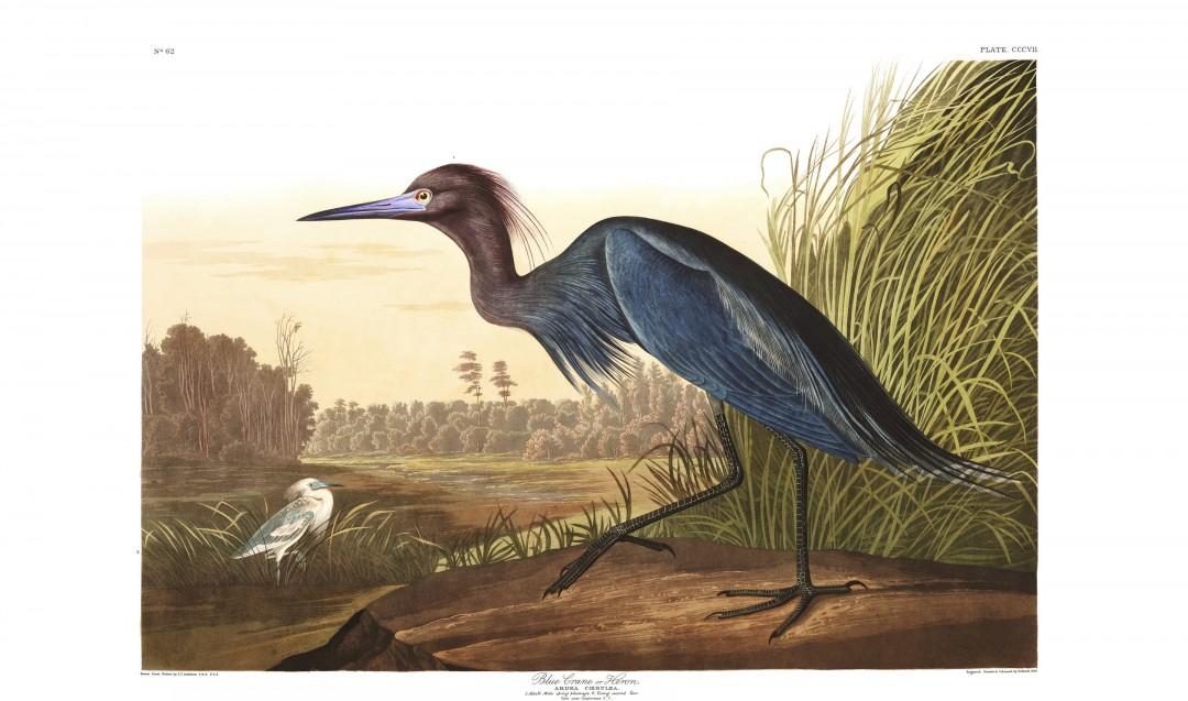 audubon-oiseau-amerique-14