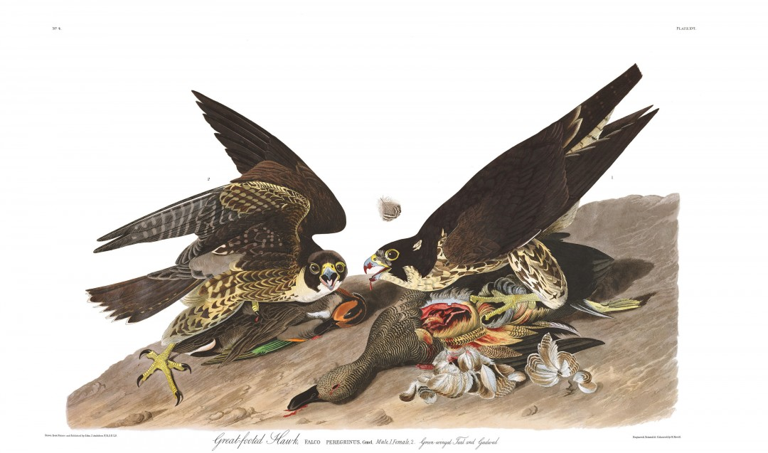 audubon-oiseau-amerique-15