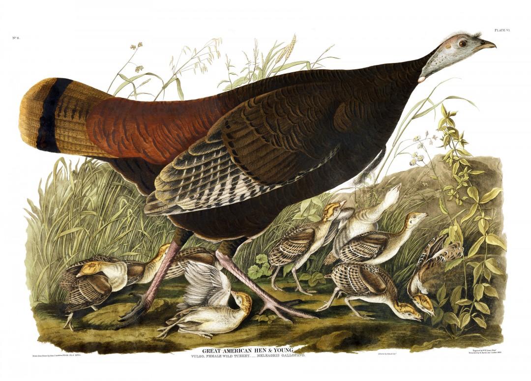 audubon-oiseau-amerique-16