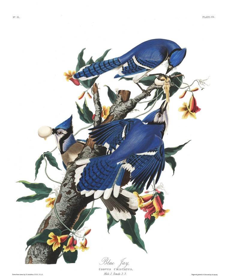 audubon-oiseau-amerique-17