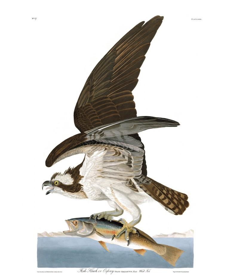 audubon-oiseau-amerique-18