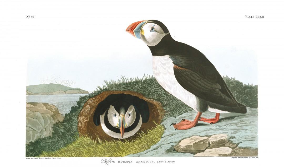audubon-oiseau-amerique-19