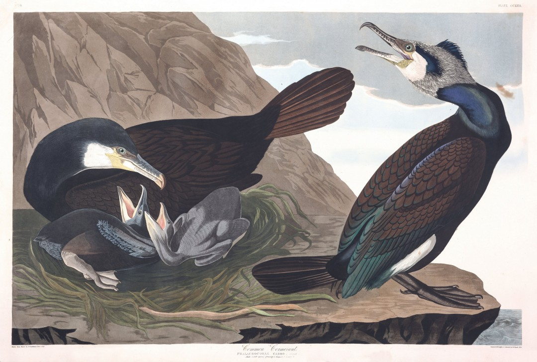 audubon-oiseau-amerique-20