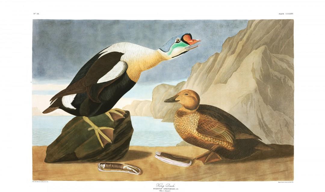 audubon-oiseau-amerique-21