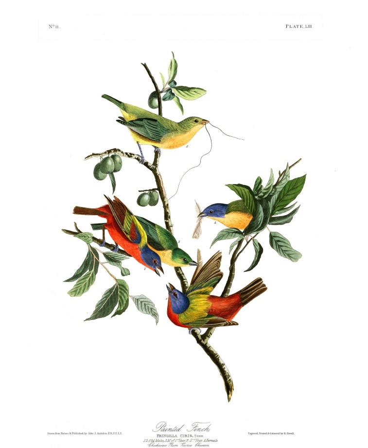 audubon-oiseau-amerique-22