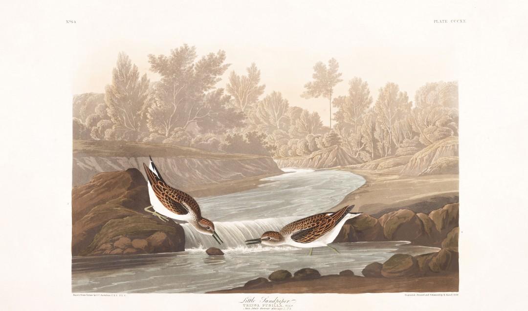 audubon-oiseau-amerique-23