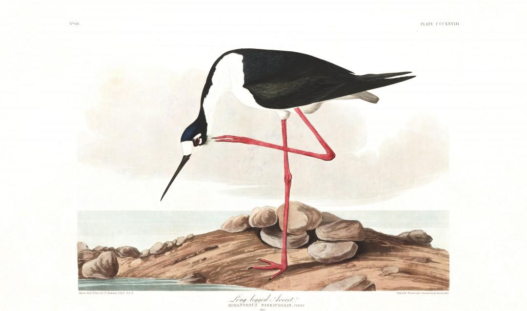 audubon-oiseau-amerique-24