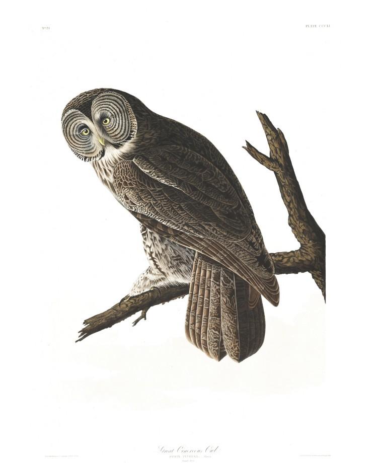 audubon-oiseau-amerique-25