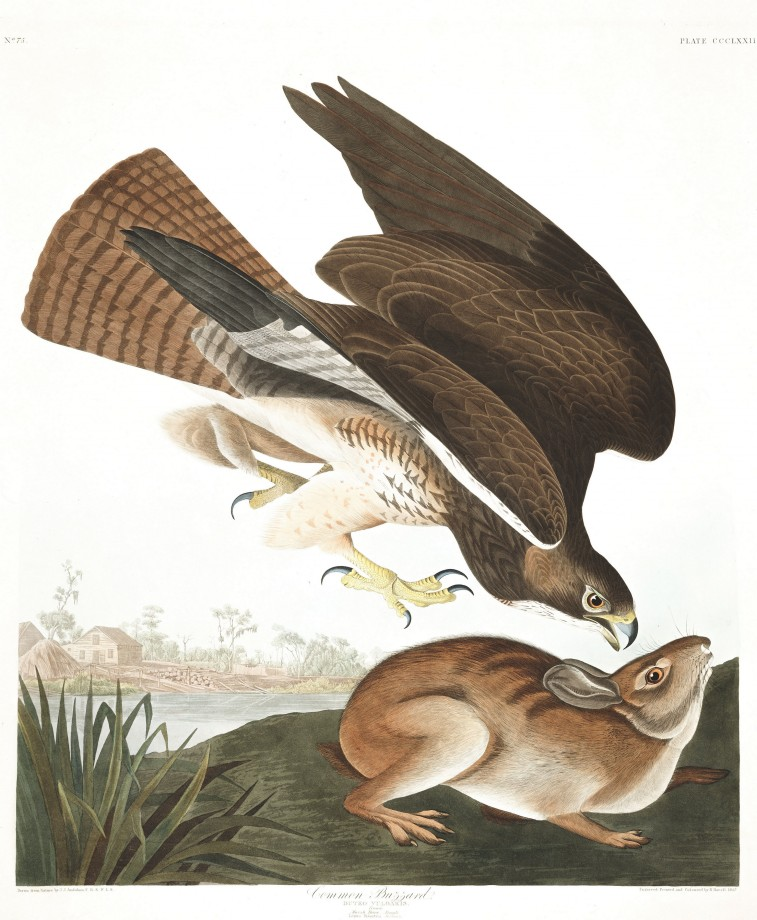 audubon-oiseau-amerique-26