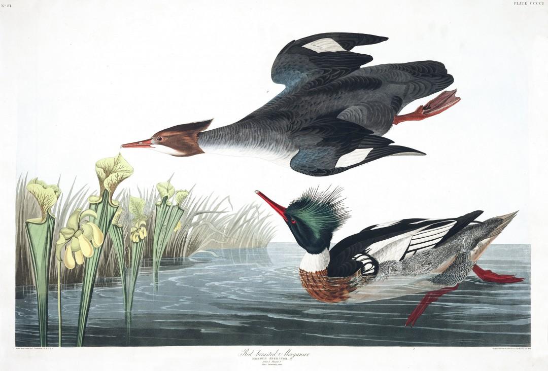 audubon-oiseau-amerique-27