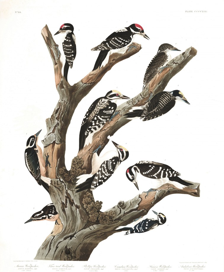 audubon-oiseau-amerique-28