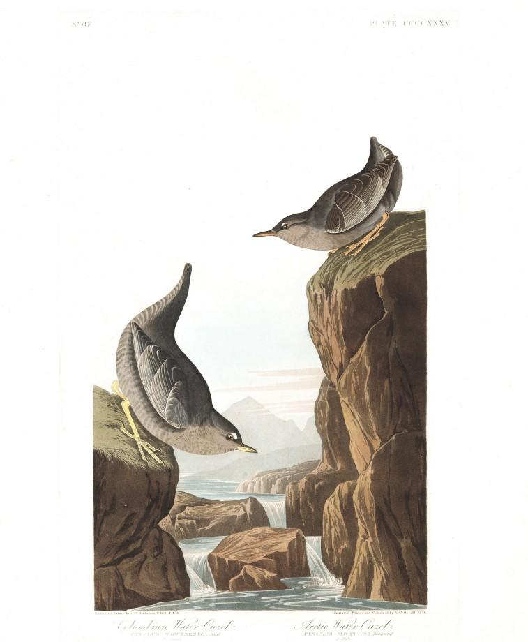 audubon-oiseau-amerique-29