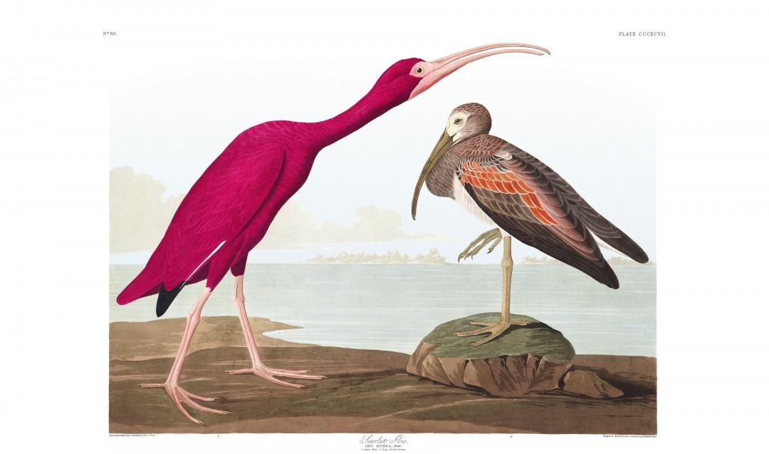 audubon-oiseau-amerique-31