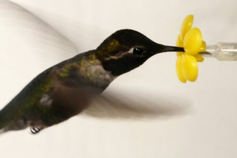 Un colibri dans une soufflerie
