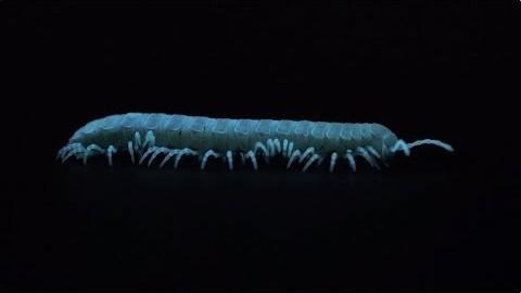 Le Motyxia : un mille-pattes bioluminescent